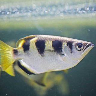 Découvrez nos pensionnaires star tels que le poisson Archer - Aquarium Vendée