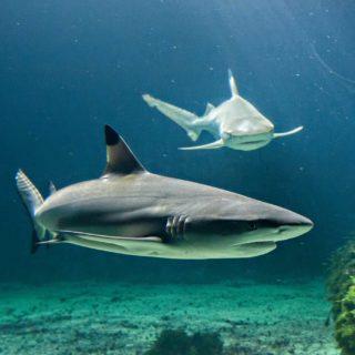 Visiter l'aquarium Vendée et ses requins pointes noires
