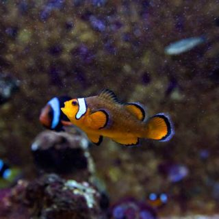 sortie-aquarium-espece-poisson-clown-amphiprion-ocellaris-aquarium-vendee